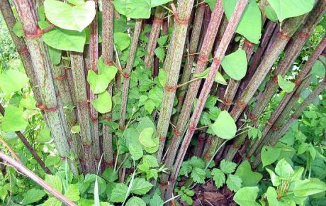 Japanese Knotweed Surveys